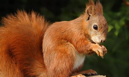 Deadly Squirrel Pox Outbreak In Bangor