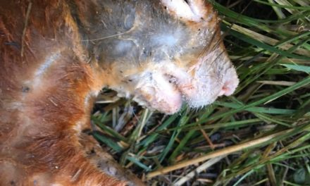 Squirrel Pox fears after another red squirrel is found dead in Bangor