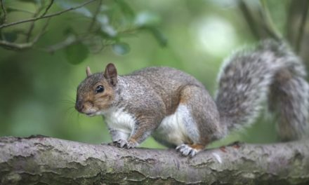 Grey squirrel cull is 'nuts' say animal rights campaigners