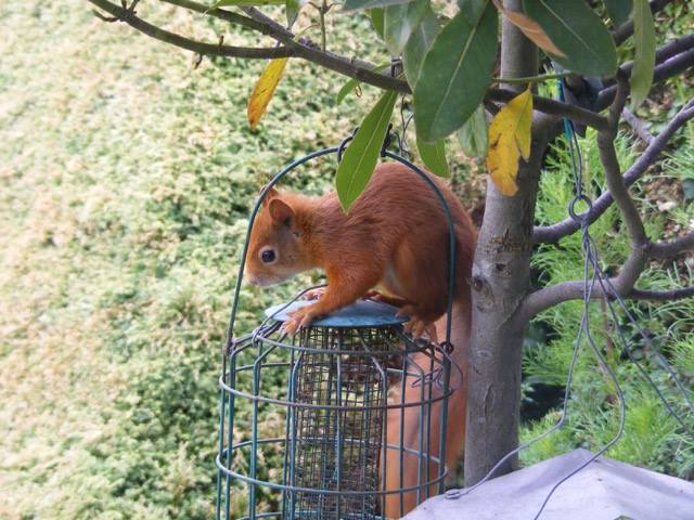 Red Squirrels 'bounce back' in Bangor