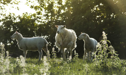 Thieves rustle 48 sheep belonging to Bangor University