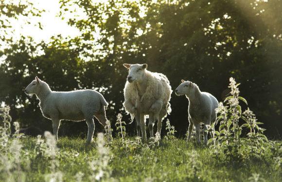 Thieves rustle 48 sheep belonging to Bangor University