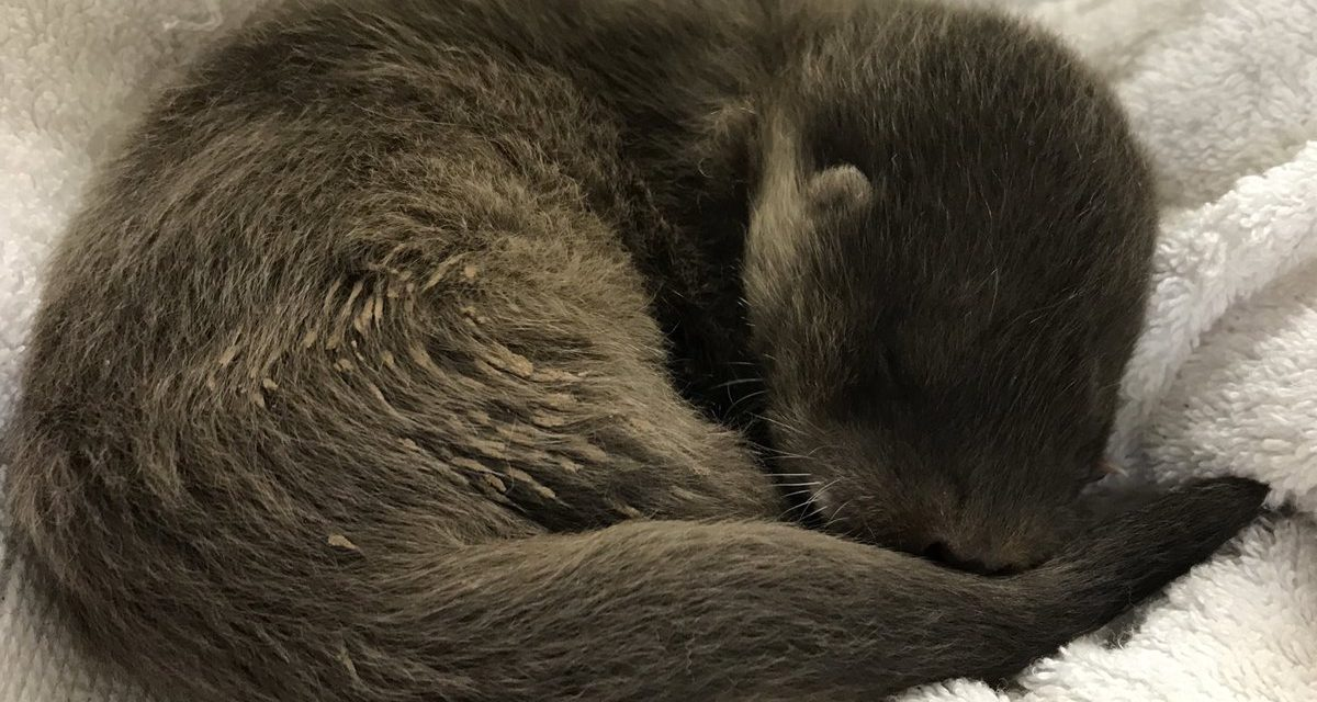 'Otterly Gorgeous' Orphaned Otter Pup Rescued in Bangor
