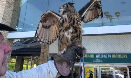 Eagle Owl to send Bangor's nuisance seagulls flying