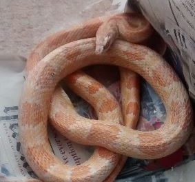 Corn Snake found in Bangor on Christmas Day