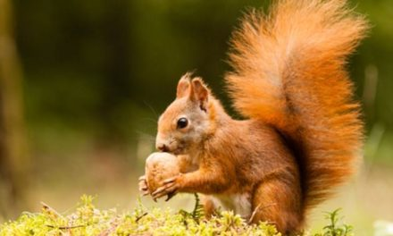 Anglesey Red Squirrels could be 'wiped out in months'