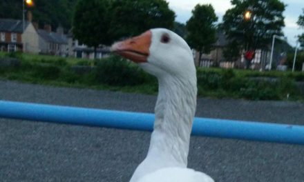 Bangor residents devastated at the death of White Goose