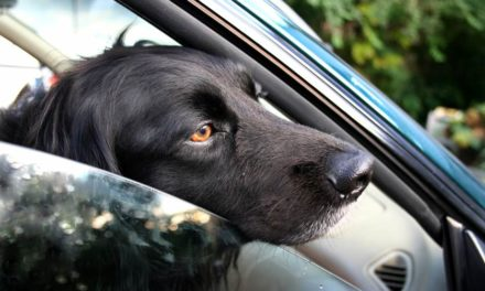 BCUHB Appeal to dog owners after pets left in vehicles during the hot weather