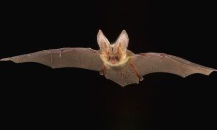 Migrating bats use the setting sun to navigate