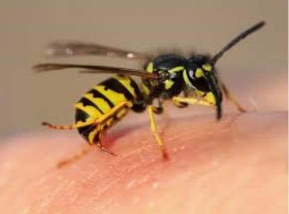 Advice from the NHS on how to treat Wasp Stings
