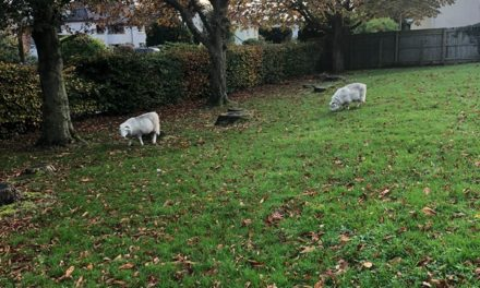 Appeal to reunite lost sheep with their owner
